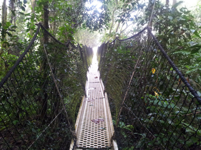the canopy walk at obudu resort